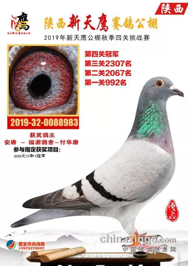 <b>黄金赛线炼铁军 陕西新天鹰四关获奖鸽鉴赏</b>
