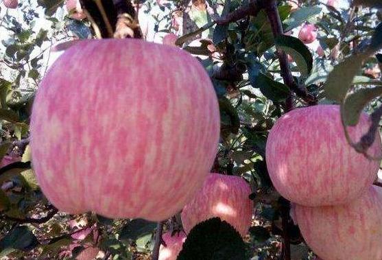 """""""片红""""和""""线红""""的苹果哪个才更甜?水果小贩才不会告诉你实情"""