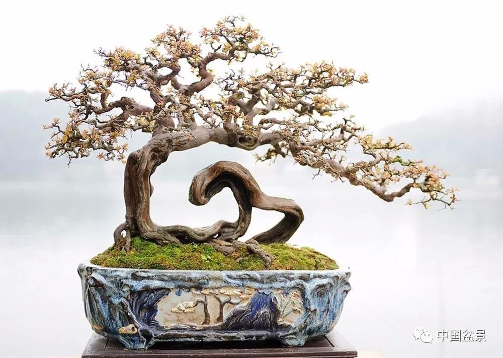 雀梅盆景欣赏与养护