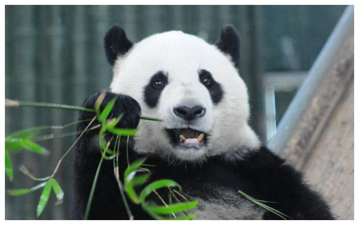 熊猫宝宝贺新春 奶爸奶妈们带着20只可爱的熊猫宝宝闪亮登场