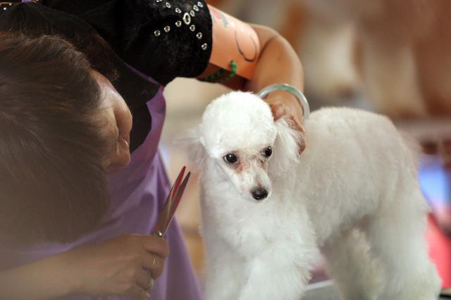 """给泰迪狗修毛视频_这才是给""""泰迪修毛""""的正确方法,学会了,狗狗就能美美哒_修剪"""