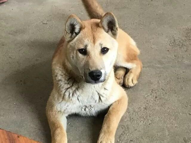 藏在大山当中的土猎狗 广西土猎犬,被忽视的好狗