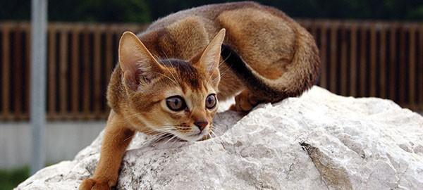 阿比西尼亚猫价格图片