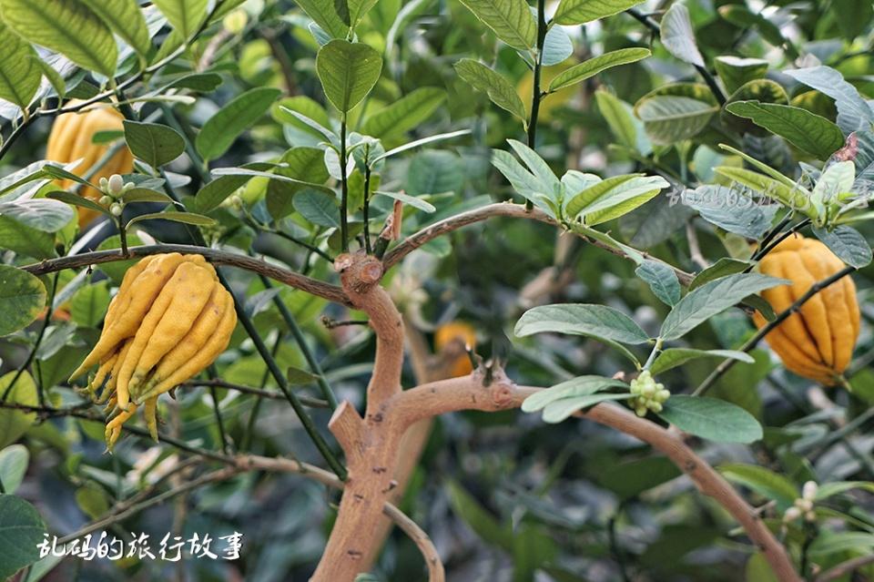 """原创             丝瓜两人多高,""""西红柿树""""产果6000斤,寿光菜博会成网红旅游地"""