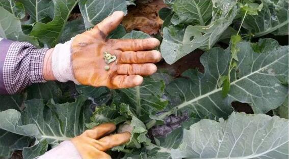 菜吧:以虫治虫,生态农人们最爱这一口
