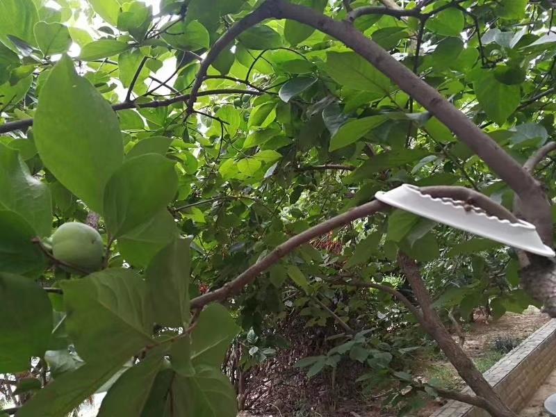 果树拉枝的原理_果树简笔画