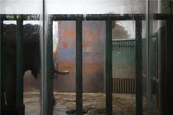 悲剧!动物园大象踩死驯养员 疑因发情所致