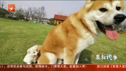 日本秋田犬惨被小偷做成下酒菜 狗主人:价值30000元