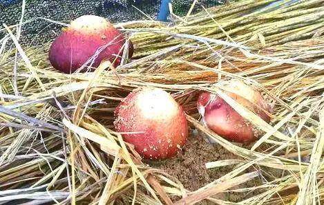 吃 豆浆和葡萄糖,巴南这朵 小伞菇 一路走红