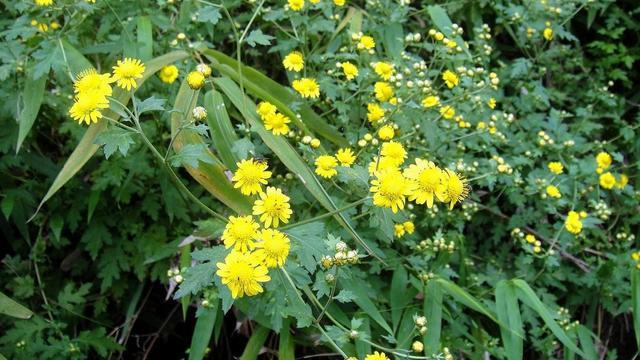 路边常见的野花,以前价值高人们很珍惜,现在大量培育当装饰花