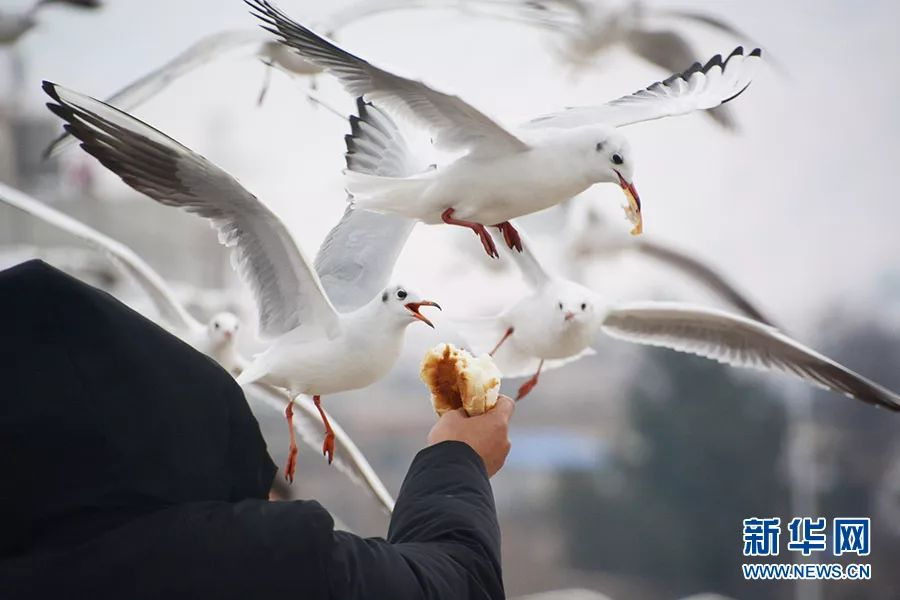 新华网刊登红嘴鸥到宣威过冬