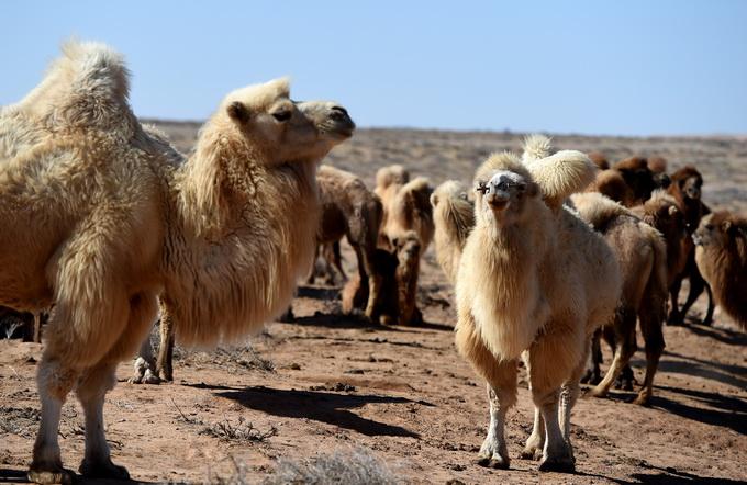 澳大利亞射殺駱駝 澳大利亞山火為何難于撲滅?