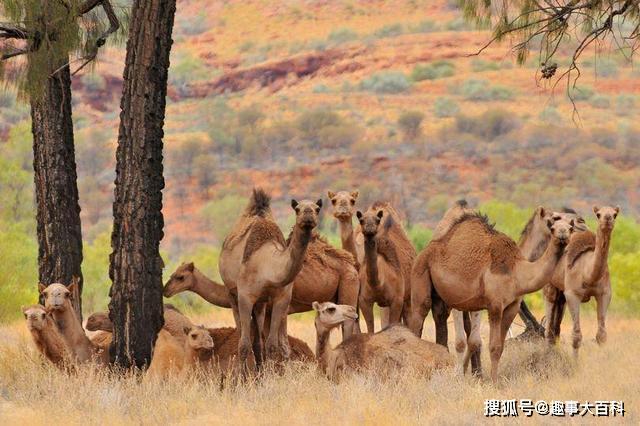 """澳洲大火过后,骆驼变身""""危险生物"""",政府下令直升机射杀!"""