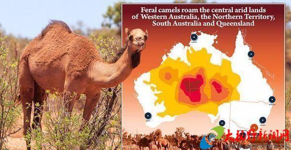 骆驼做错了什么? 澳大利亚将在5天内射杀1万头骆驼以缓干旱