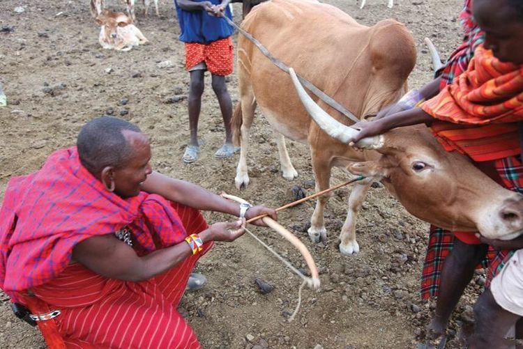 非洲马赛人的奇葩习俗,生饮牛血,苍蝇爬脸上不能驱赶