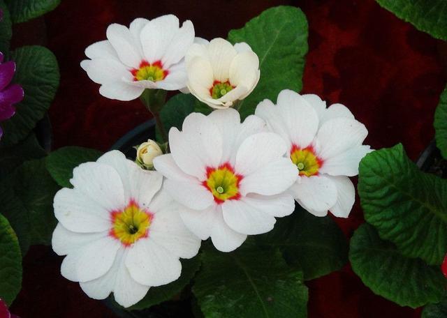 【这花就是春天的标志,冬天耐寒生命力旺盛,开花量大花色丰富】 生命