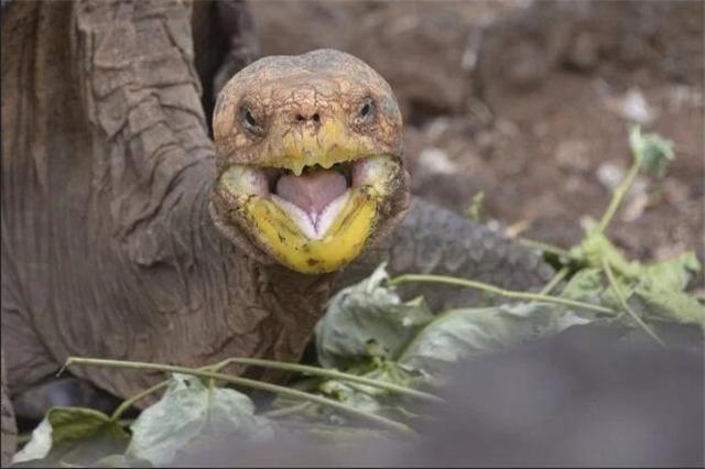 原创 百岁老龟成功拯救物种后,将荣归故里,80年生下800只后代