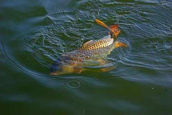 年关将至,农村大集上的鲤鱼价格,为何不涨反而下降,看完明白了: