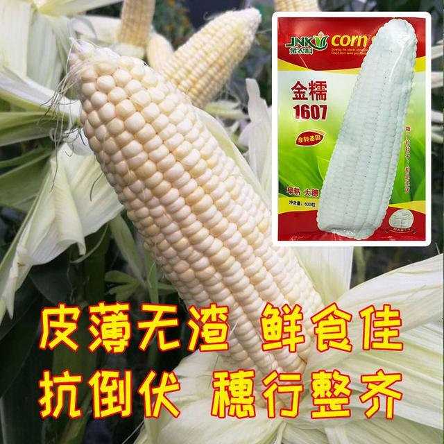 这个玉米新品种,产高,棒大,早熟!价格优势高!农户值得试种下_