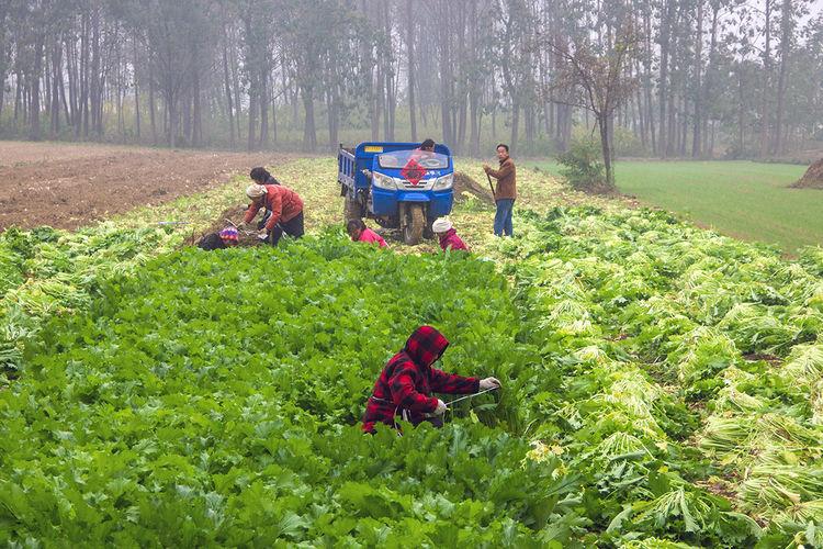 【农民加种一季速成蔬菜,简单加工一下,每亩2千变2万】