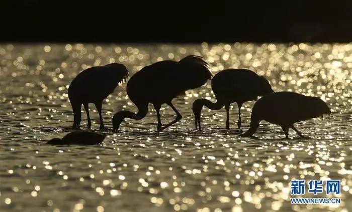 """从""""人鸟争食""""到""""和谐共生""""——江西湿地生态补偿政策美了生态得了民心"""