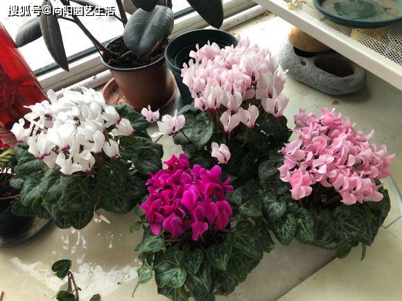 """[养花选对的,2种花带""""仙气"""",花开""""爆盆"""",放在客厅""""喜庆""""]"""