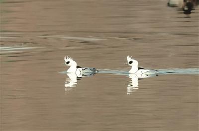 大運河飛來珍禽斑頭秋沙鴨