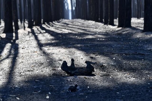 超2万只考拉死亡。澳洲环境部长:考拉或被列为濒危物种