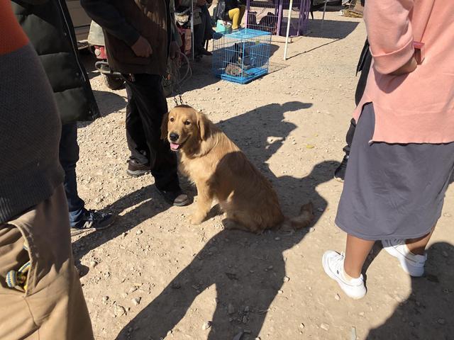 """原创            狗市:男子出售自己的金毛,表示:""""低于1500元,不卖!"""""""