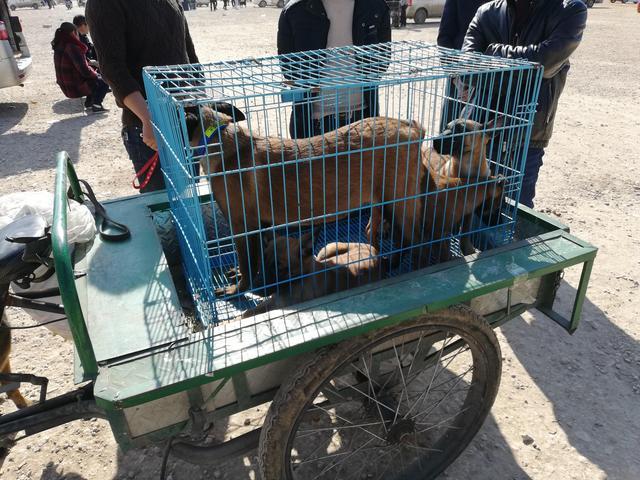 原创            因旧房子拆迁马犬无法继续饲养,商贩将其低价转手!