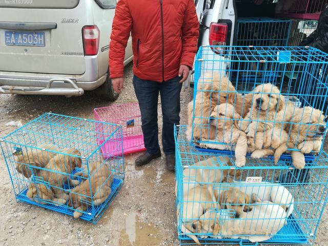 原创            狗市:拉布拉多和金毛,800元一只,品相好被人全部预订!
