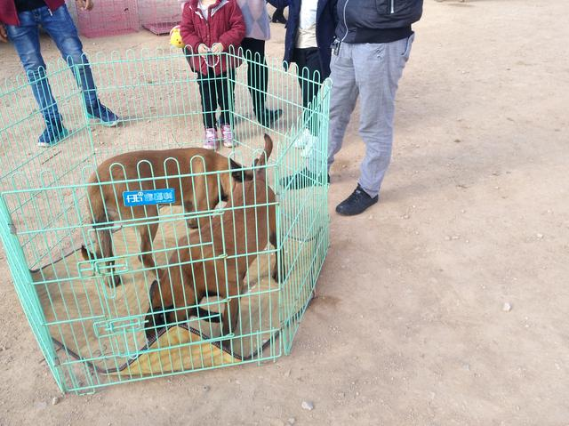 原创            商贩出售活泼好动的马犬,却因来得太晚没有顾客购买!