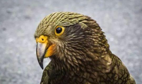 这种鹦鹉曾经因为攻击绵羊而被捕杀,现在却成为了原产地的小霸王