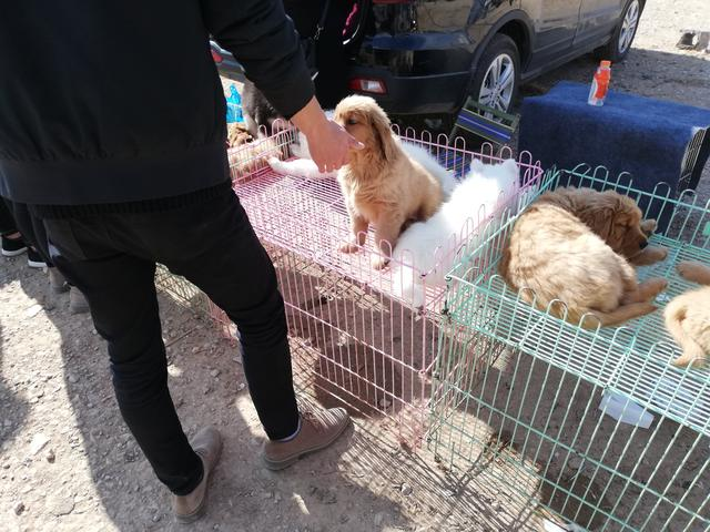 """原创            金毛幼犬要价800元,卖家称""""已经亏着卖了,不可能再少!"""""""