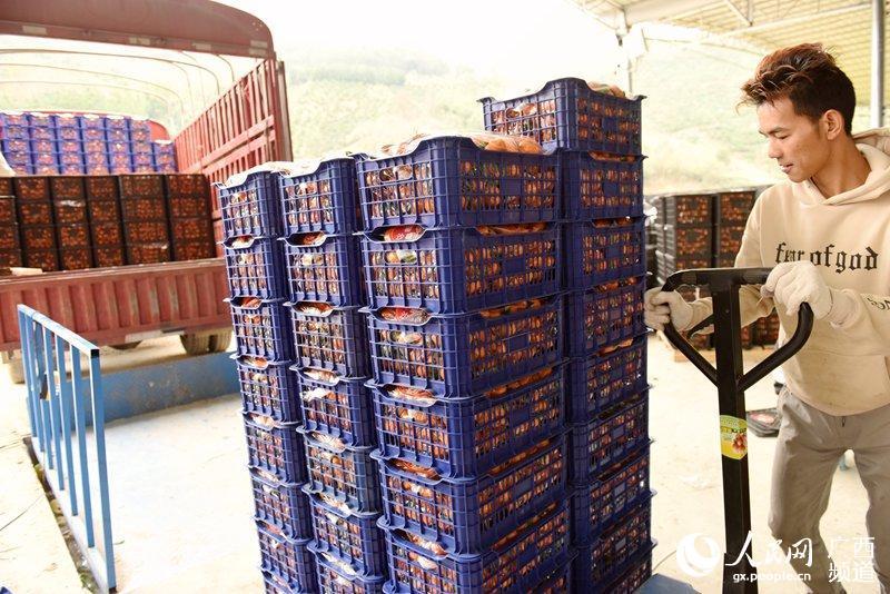 广西西林:水果产业助脱贫