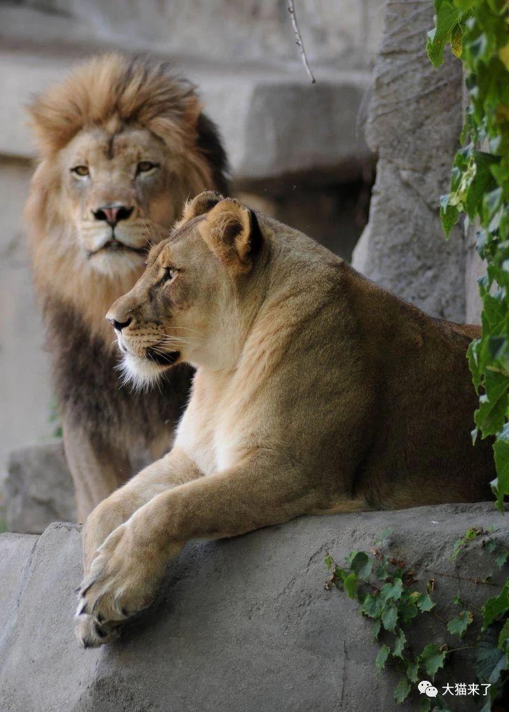 原创             相伴12年的雄狮死后不久,母狮摔成重伤被安乐死,或因过于伤心