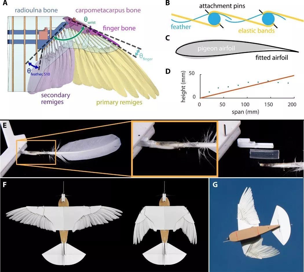 真 鲁班 斯坦福学者造出带羽毛翅膀的 机器鸽 ,登上Science及其子刊