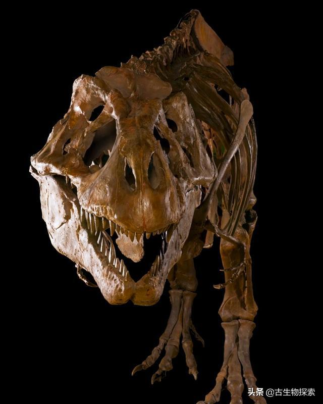 图注:霸王龙巨大宽阔的脑袋,图片来自网络   正是凭借着具有强大咬合力的嘴巴,   霸王龙能够重伤并杀死三角龙   霸王龙的法宝正是它那张血盆大口,其中长有60枚粗壮如同香蕉的牙齿,牙齿两侧还有密集的小锯齿.