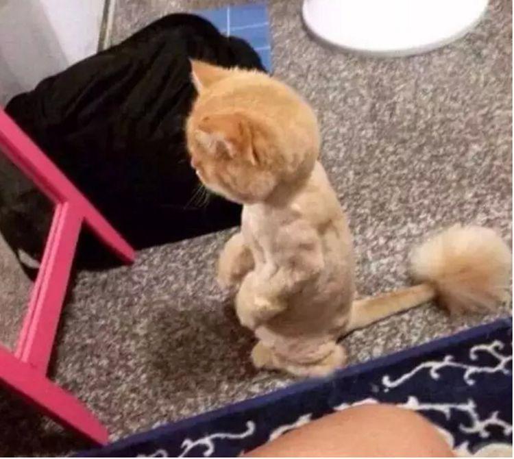 原创 猫咪被骗去剃毛,镜子里看见自己的模样,连死的心都有了!