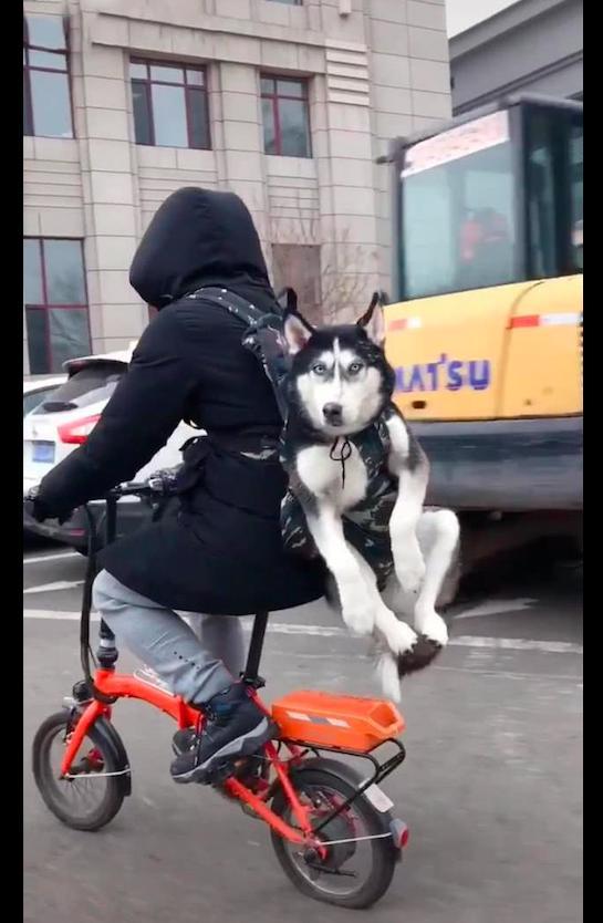 【智慧职教】,男子骑自行车还背着哈士奇,后轮胎都被压扁了,这是有多重呀!