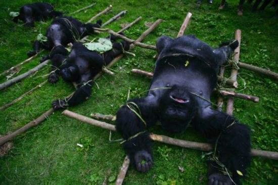 【智慧职教】,原创 非洲猎人猎杀山地大猩猩后,不忘与其留影,画面令人愤怒