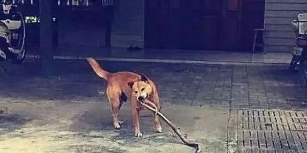 【智慧职教】,田园犬在院子里一直狂叫,主人受不了,出去一看被吓得脸色铁青