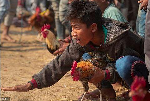"""【智慧职教】,飞来横祸!印度男子看斗鸡比赛 被一只鸡""""杀死"""""""