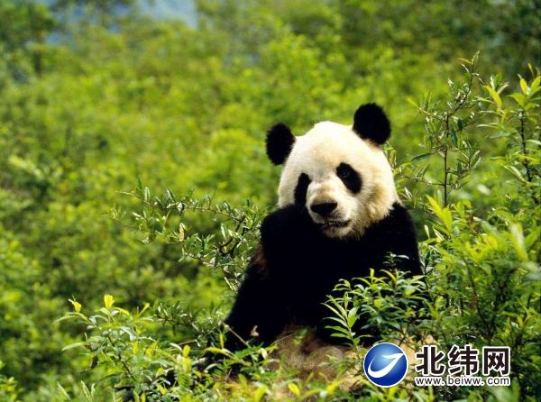 熊猫圣殿邓池沟-北纬网(雅安新闻网)