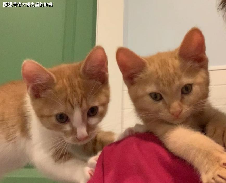 原创 橘猫身患重病已无希望,本会被安乐死,却再坚持了5天照顾4只小猫