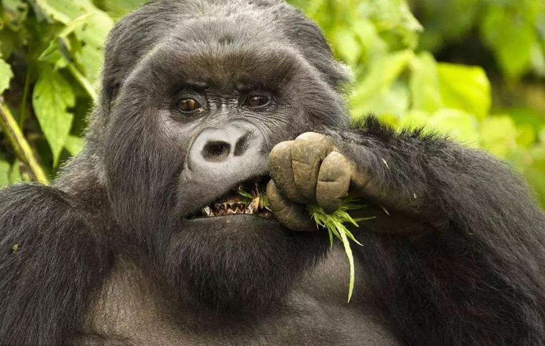 原创 非洲猎人猎杀山地大猩猩后,不忘与其留影,画面令人愤怒