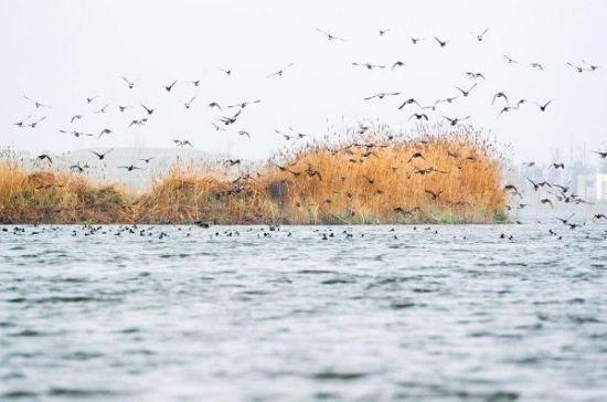 """退渔还湖后盐城大纵湖再现""""百万水鸟飞平湖"""""""