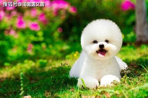 原创            【养狗经验分享】比熊泪痕用什么药好使,比熊泪痕怎么清洁