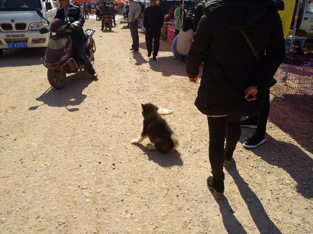 狗市:男子因和女友吵架将阿拉斯加拉到狗市售卖,中途反悔!