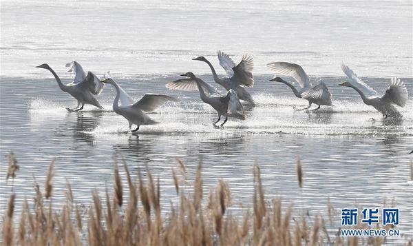 威亚是什么三门峡:白天鹅黄河湿地越冬